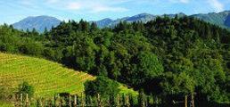 St. Helena, Mt St. Helena and vineyards(1)